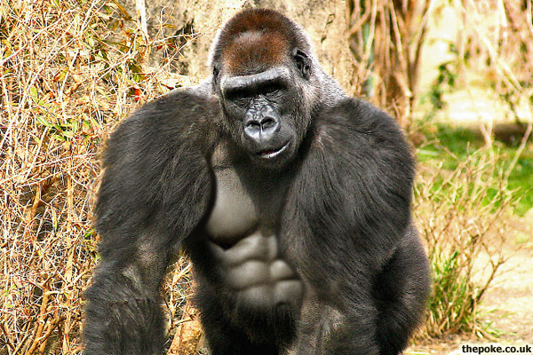 'Widespread steroid abuse' amongst zoo gorillas The Poke
