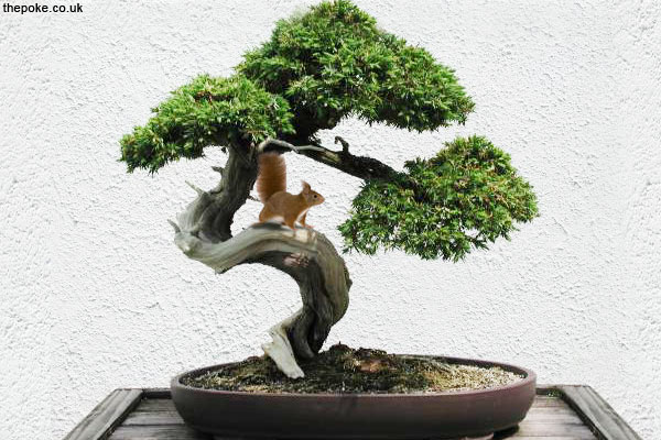species of miniature squirrel found in bonsai trees the poke. Black Bedroom Furniture Sets. Home Design Ideas