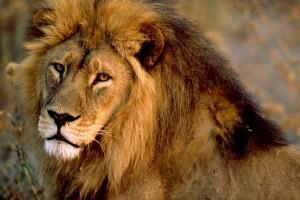 nat_geo_lion