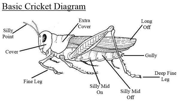 Cricket anatomy diagram
