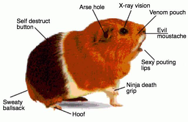 Diagram Parts Of Guinea Pig - Free Vehicle Wiring Diagrams •