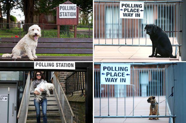 dog-voting-main