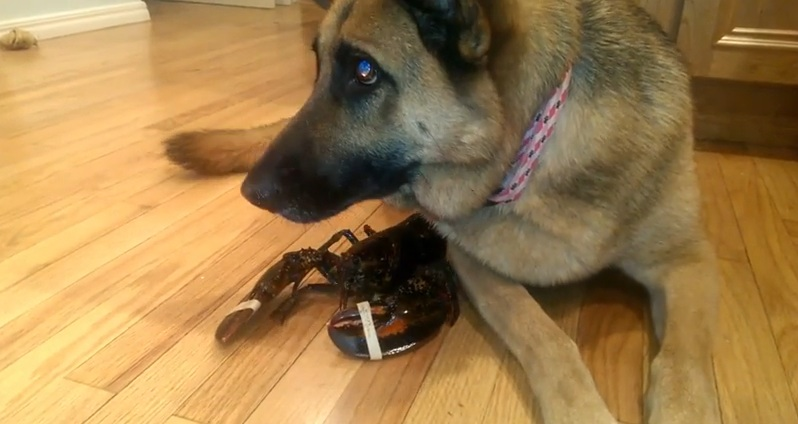 Faithful german shepherd protects her lobster pal the poke for Lobster shepherd s pie