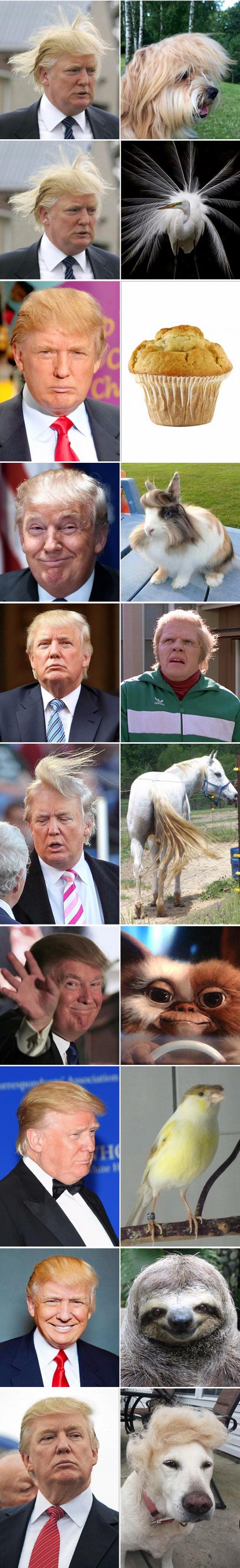 funny-Donald-Trump-hair-cat-look-alike