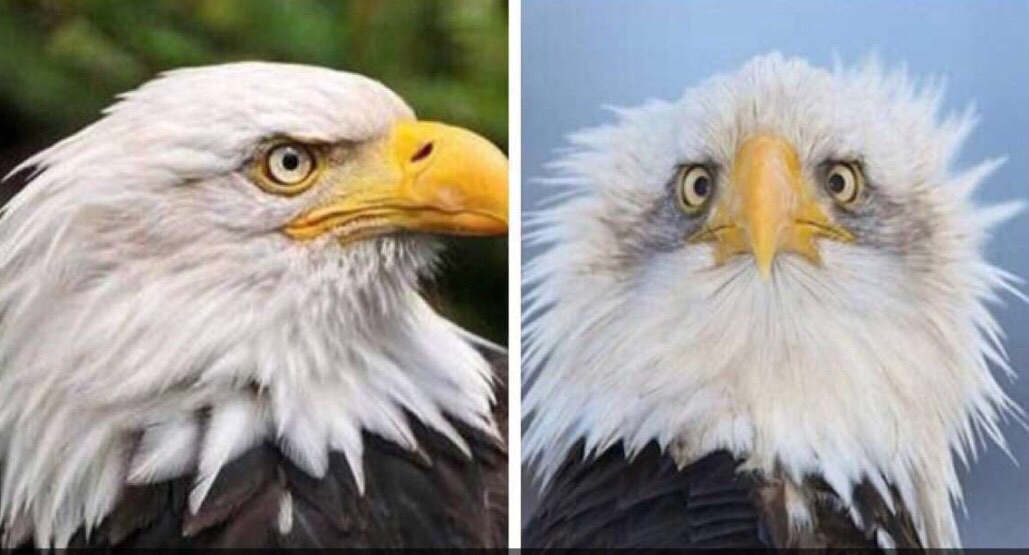 What Is A Side By Side >> Ever wonder why the American bald eagle is always photographed from the side? The Poke