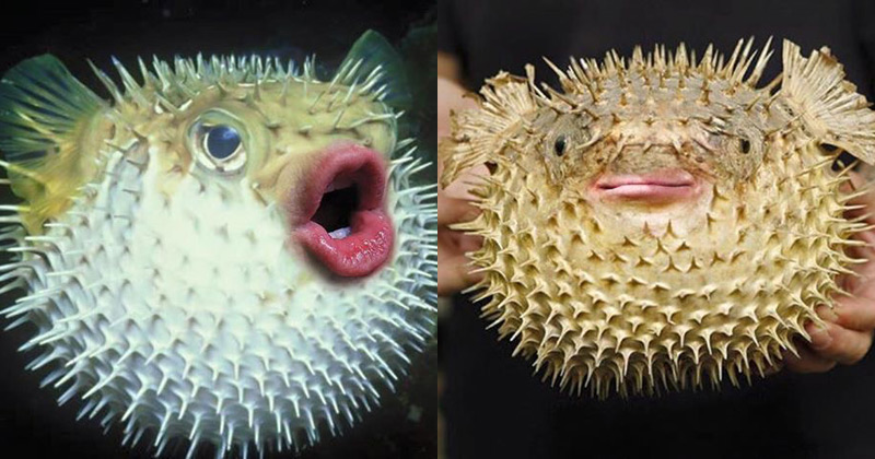 Donald Trump's mouth looks alarmingly at home on puffer fish