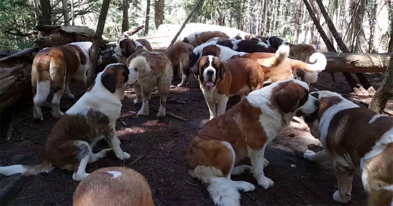 38 Saint Bernards In A Forest Might Give You A Slobbering