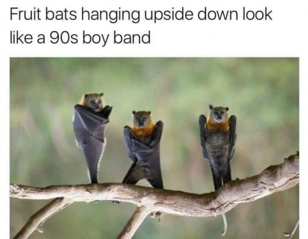 when fruit bats hanging upside down look like a 90s boyband the poke