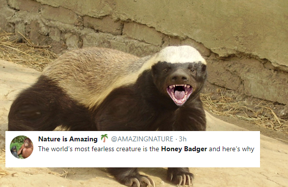 Even if you're a lion - DON'T MESS WITH A HONEY BADGER ...