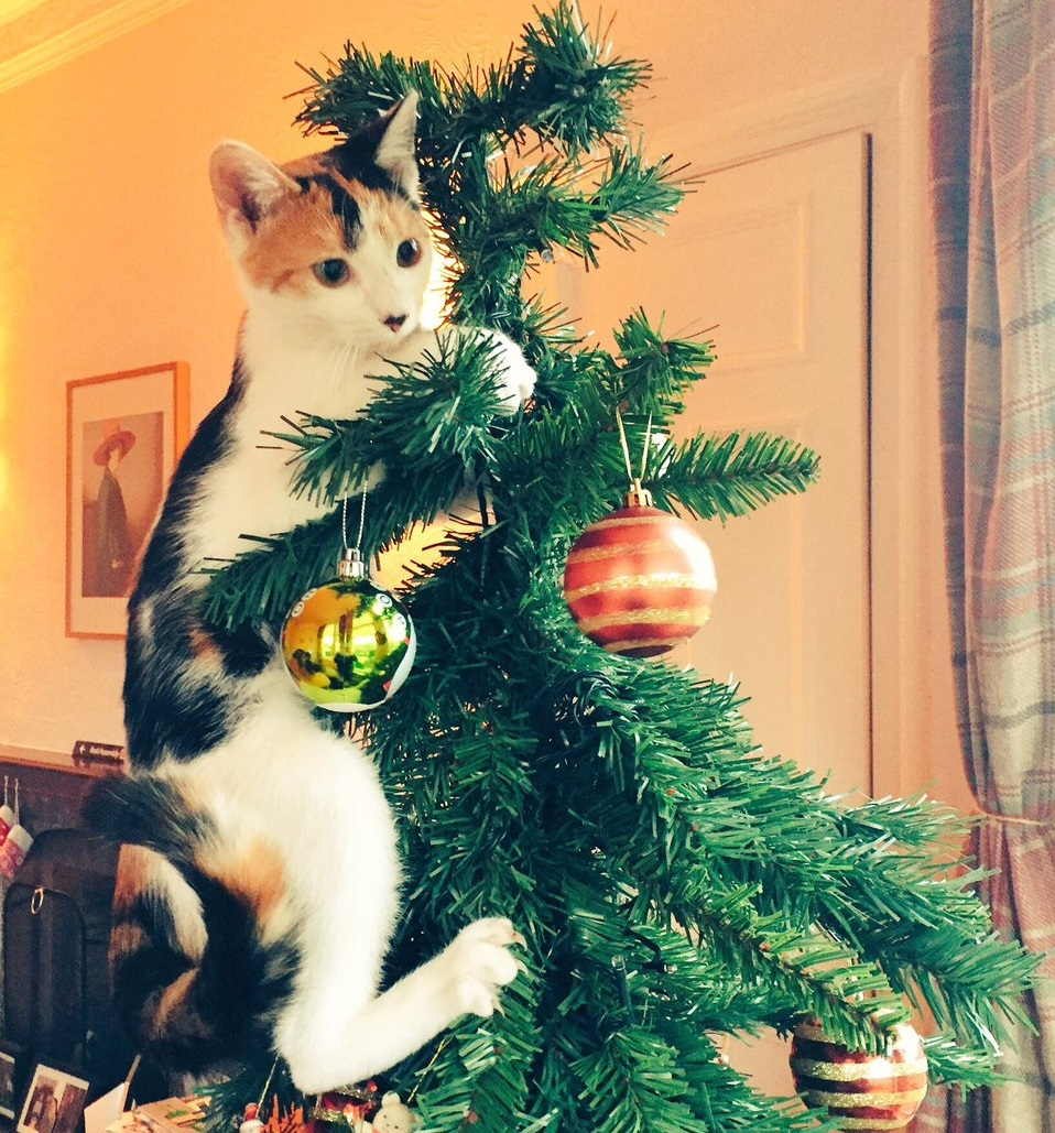 Are Christmas Trees Bad For Cats: It Turns Out That Christmas Trees Are Nothing But Giant