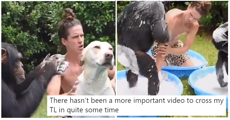 Nothing to see here – just a man, two chimpanzees and a dog, washing each other
