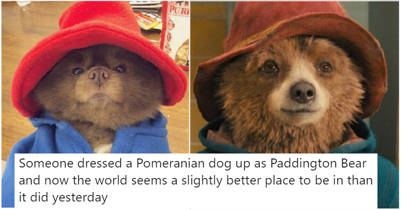 Need a pick-me-up? Here are 5 fantastic reactions to a cute Pomeranian dressed as Paddington Bear