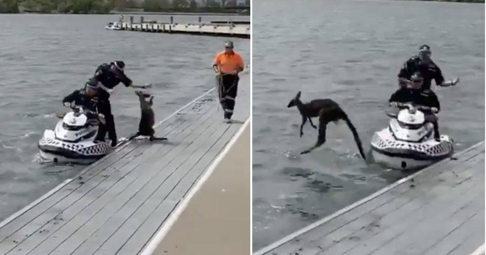 This kangaroo's response to being rescued from a lake was very funny but not very helpful