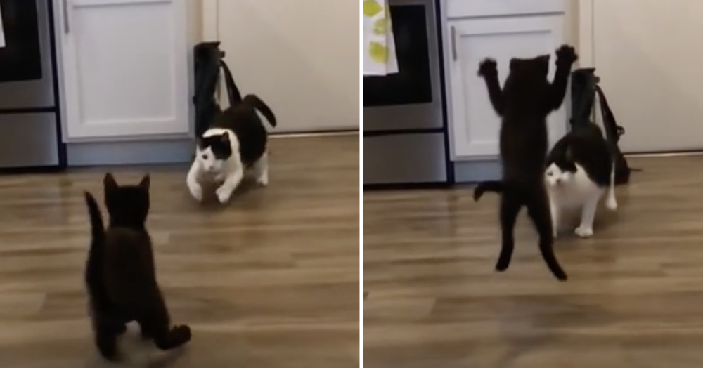 This kitten's special move is both highly impressive and totally misjudged