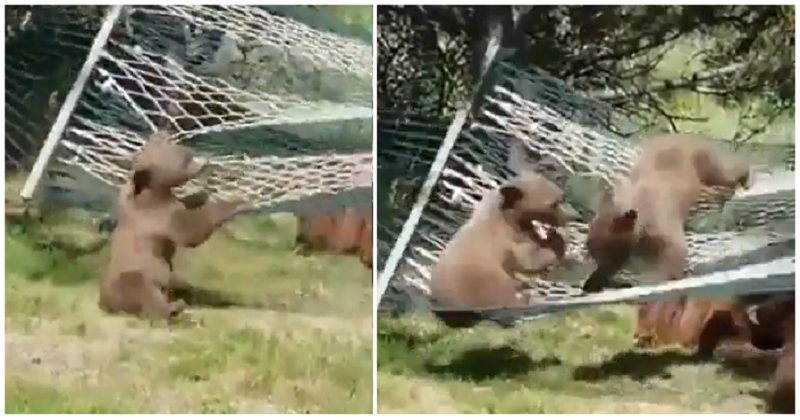 13 wonderfully chaotic seconds of bear cubs trying to climb into a hammock