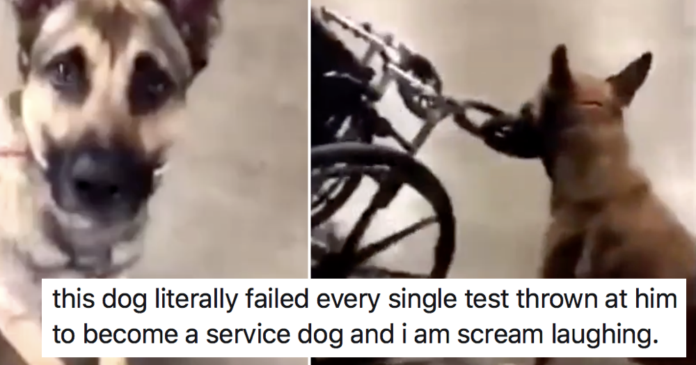 This dog's epic failure at every single Service Dog Training test is a very funny watch