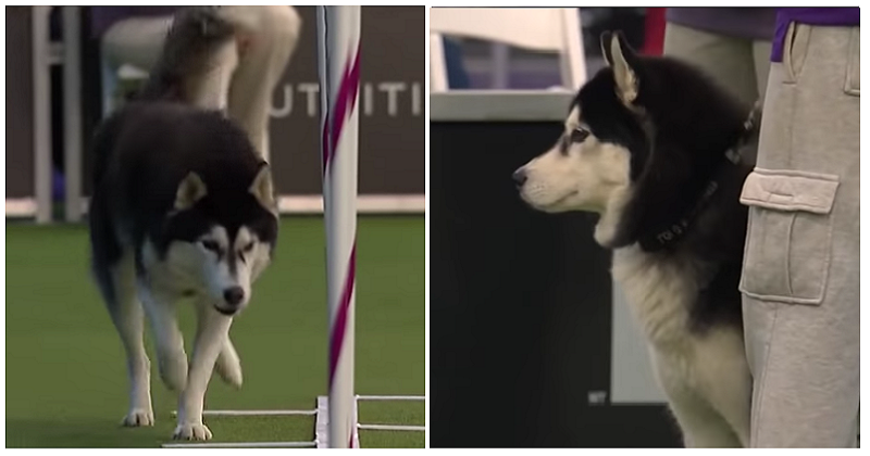 Lobo the Siberian husky went off-script at the dog show – and made it even better