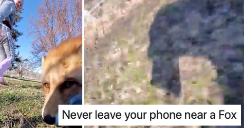 This video of a fox running off with a mobile is a wild ride - the poke