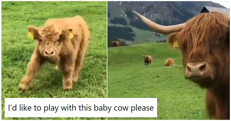Your recommended daily allowance of cuteness served up by a Highland calf