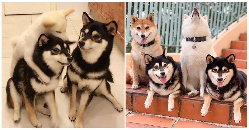 Hina the Shiba Inu has a talent for 'ruining' group photos – 12 of her funniest poses - the poke