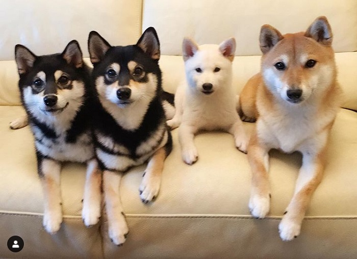 Hina the Shiba Inu has a talent for 'ruining' group photos – 12 of her funniest poses