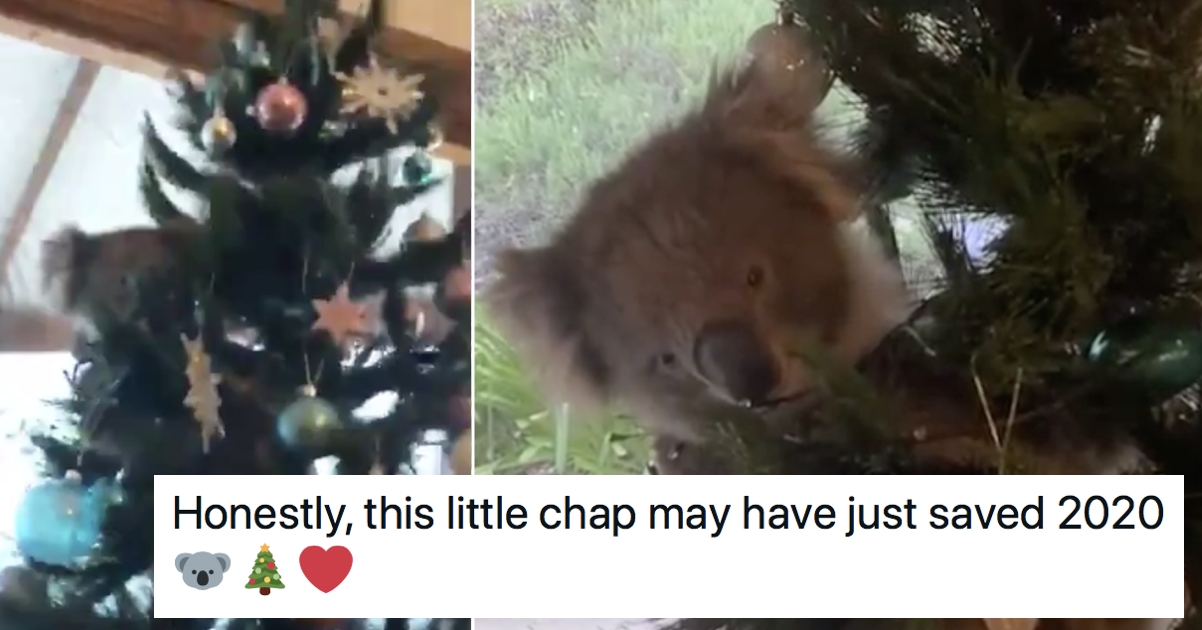 This confused koala ended up in a family's Christmas tree and it's today's loveliest tale - the poke