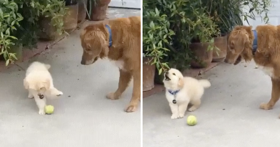This puppy's hilariously short attention span went viral all over again because it's so adorable