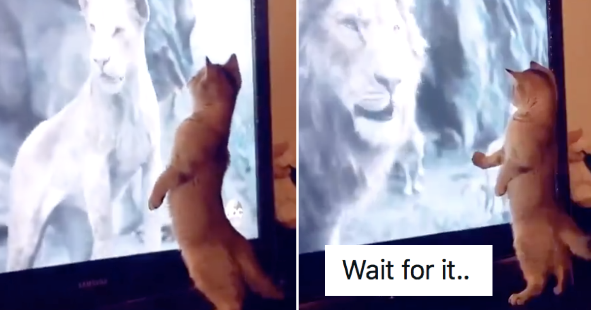 This cat was loving the big cats on TV … until a really big one turned up