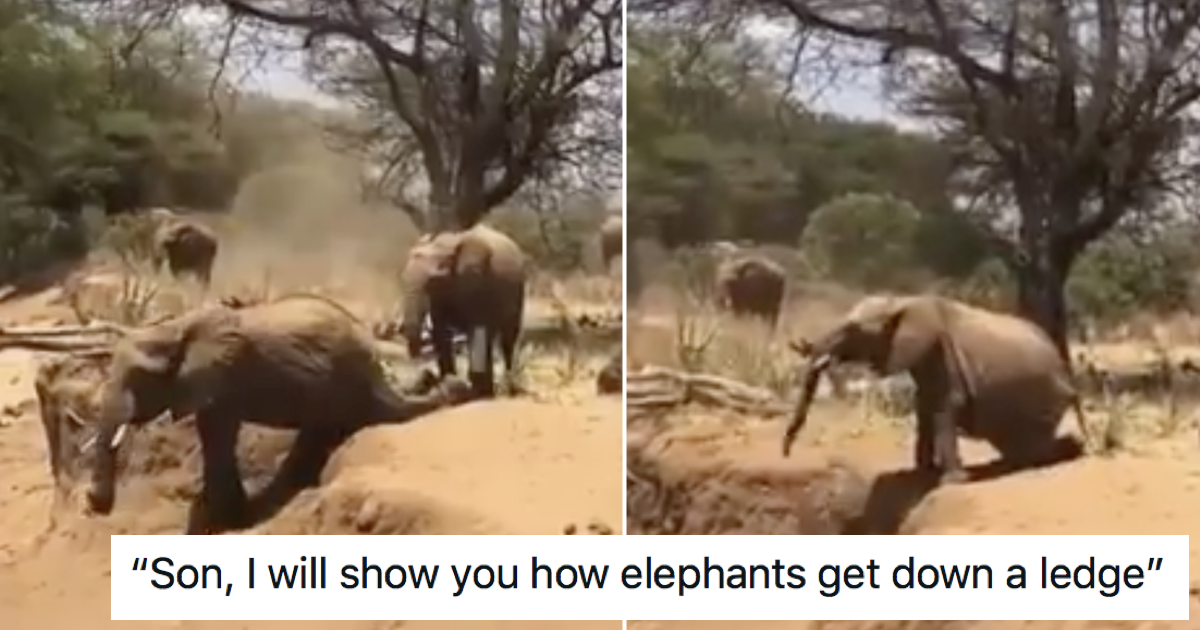 This elephant trying (and failing) to follow the older elephant's lead is a very funny watch - the poke