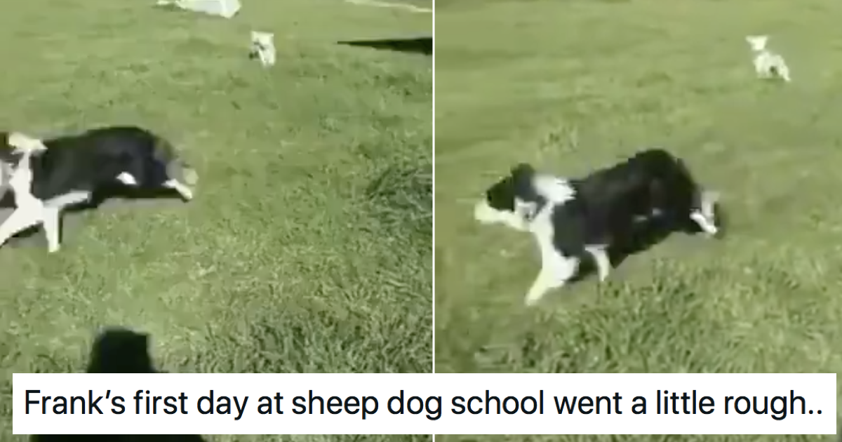 This sheepdog being schooled by a sheep is making people's day better