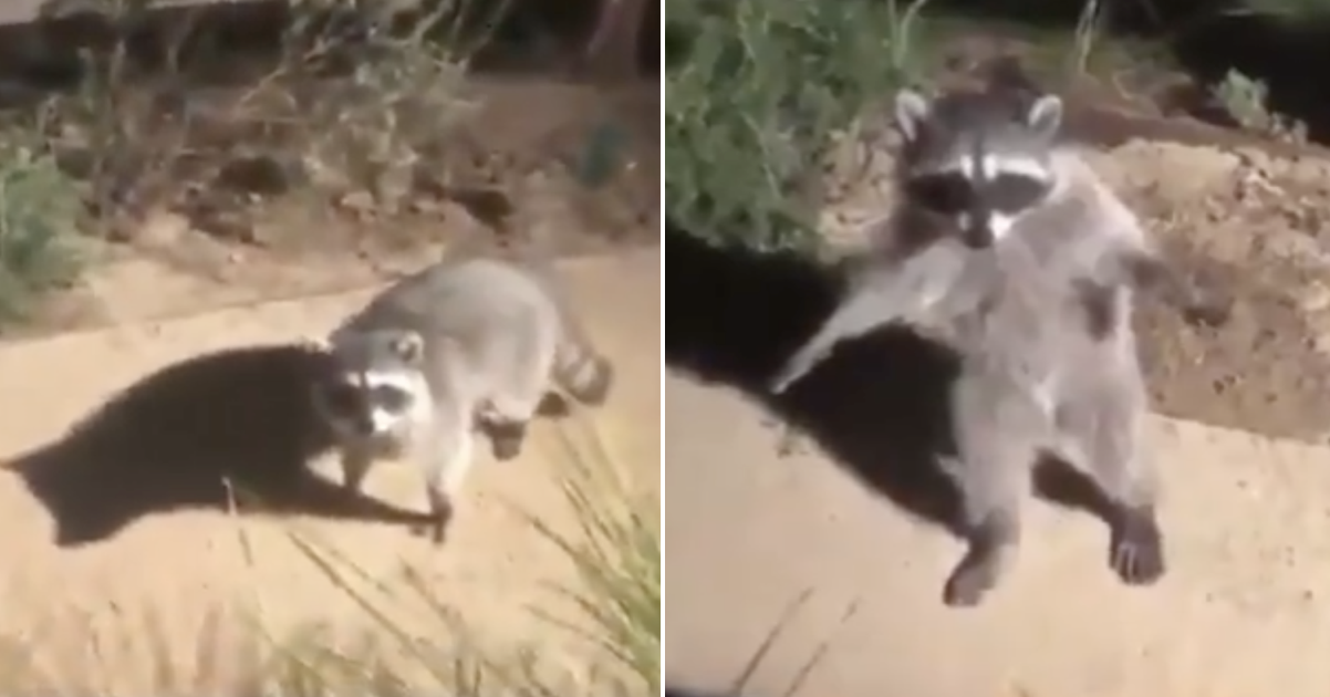 These raccoons hilariously caught in the act is one for the ages - the poke