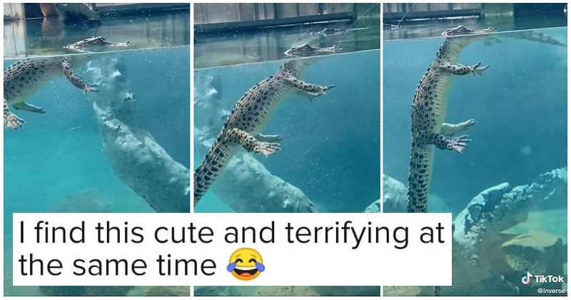 This underwater view of a crocodile is not what you'd expect - the poke