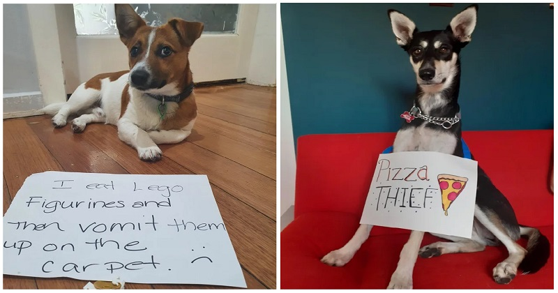A hilarious rogues' gallery of 18 dogs being publicly shamed - the poke