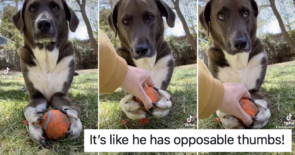 The way this dog ferociously holds onto this ball is a very funny watch - the poke
