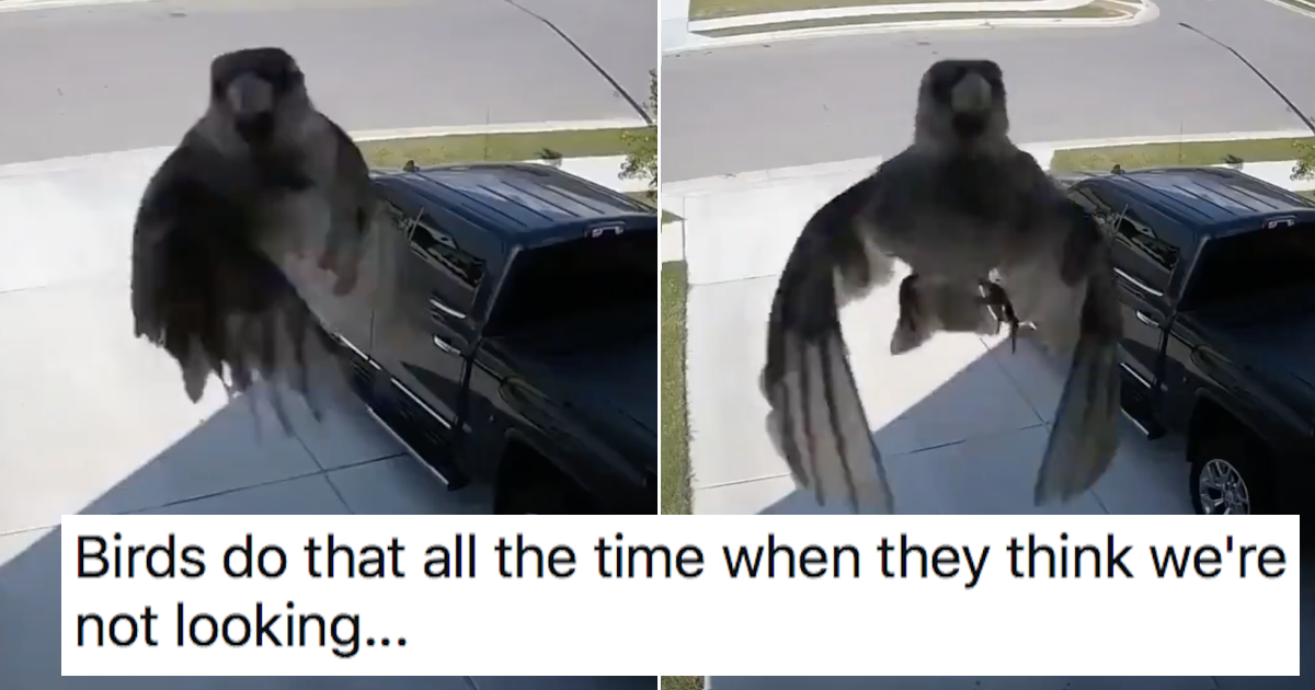 This bird's wings sync with the camera frame rate and it's creepy and very funny