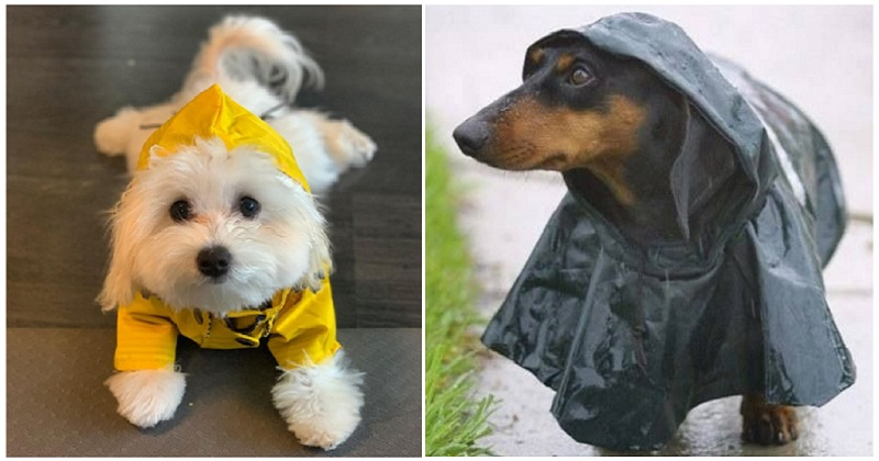 There's just something extra cute about dogs in raincoats – 16 very good boys and girls - the poke