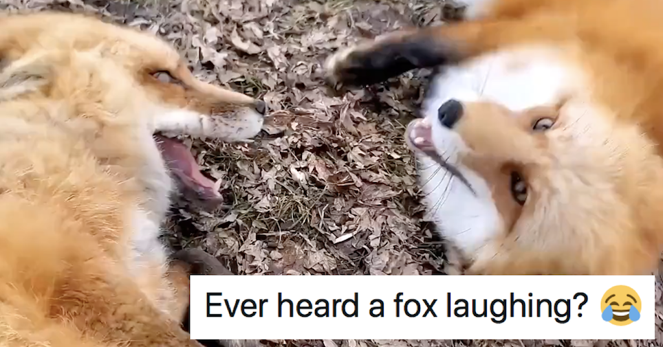The video of these foxes laughing went wildly viral because, well, listen - the poke