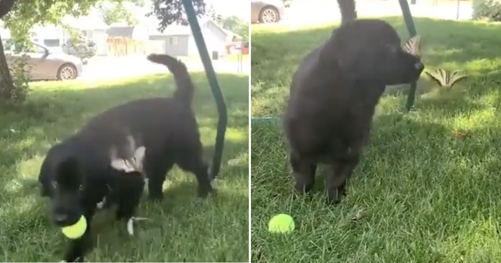 This dog distracted from his ball by this butterfly is just the escape we needed right now