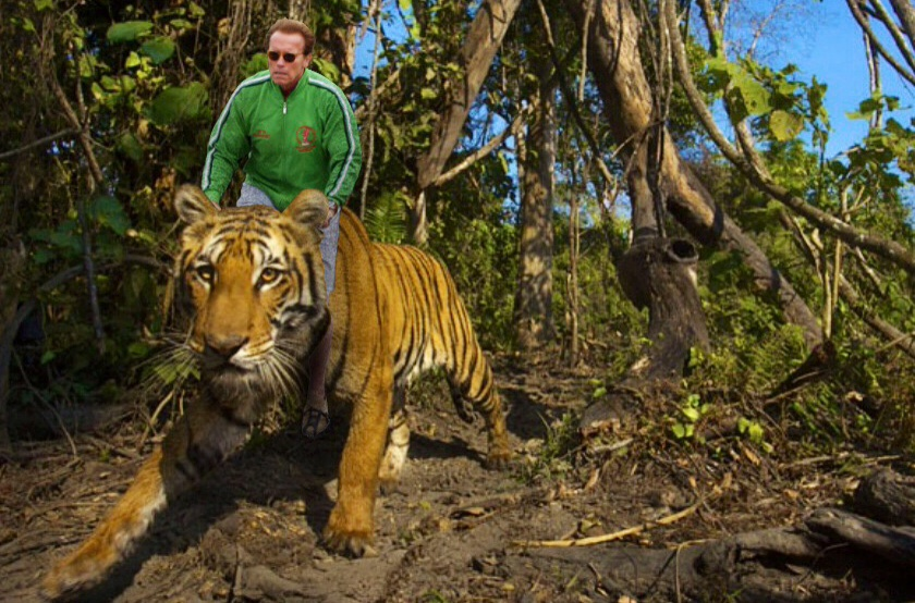 schwarzenegger rides a massive tiger the poke