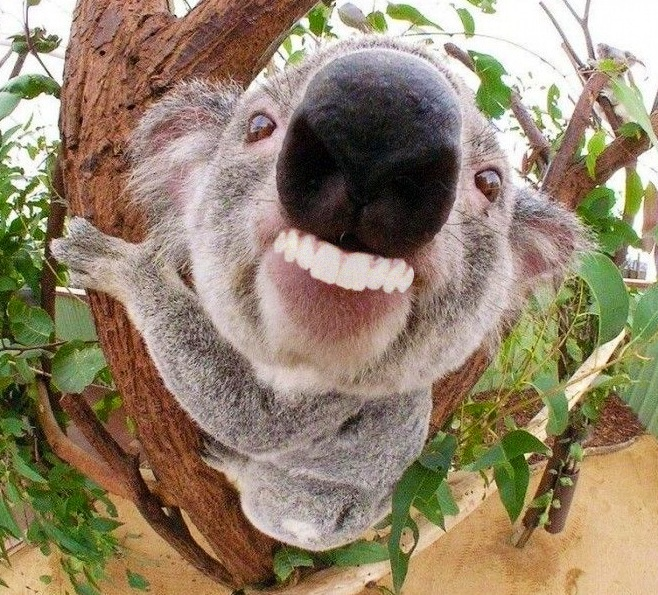 Ok Koala The Poke